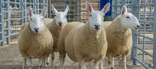 Pedigree Sheep