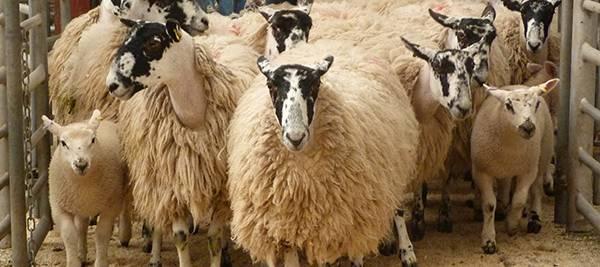 Store & Breeding Sheep